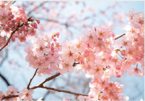 Taille du Cerisier – Quand et Comment