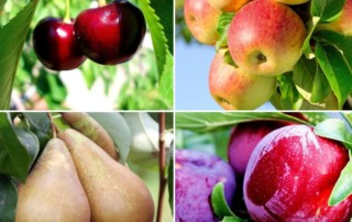 Taille des Fruitiers : Quand et Comment