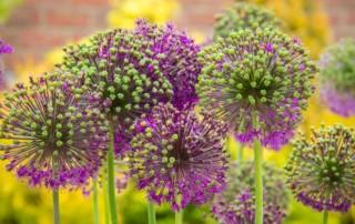 Conseils et utilisation des plantes vivaces